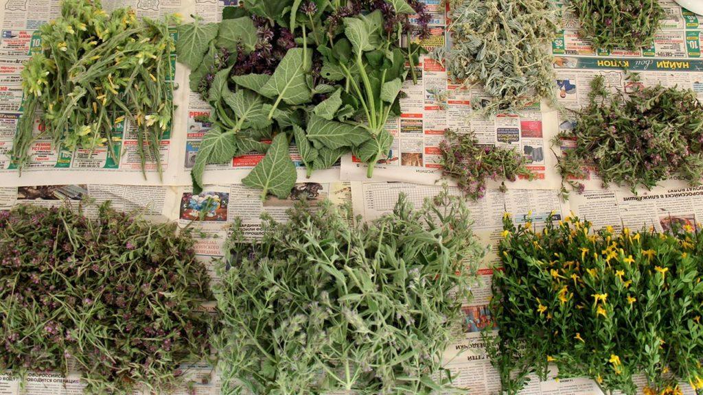 Uscarea plantelor medicinale pe ziar in strat subtire