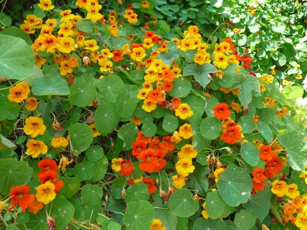 Flori si frunze de condurasi caltunasi condurul doamnei