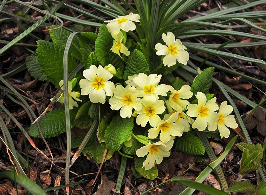 Griciorei sau primula vulgaris plante salbatice comestibile
