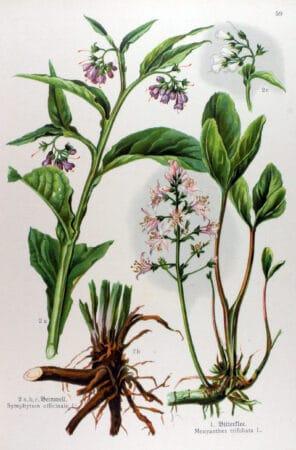 Planta tataneasa symphytum officinale descriere
