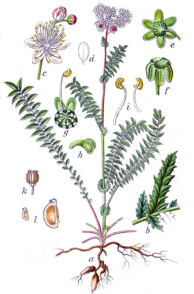 Aglica sau filipendula vulgaris