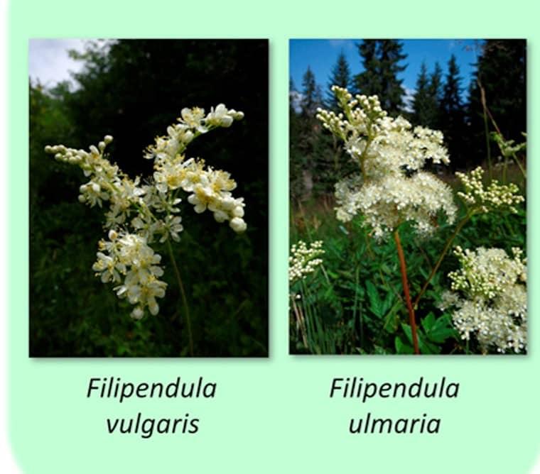 Diferenta dintre cretusca si aglica filipendula ulmaria si filipendula vulgaris