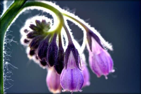 Floarea de tataneasa