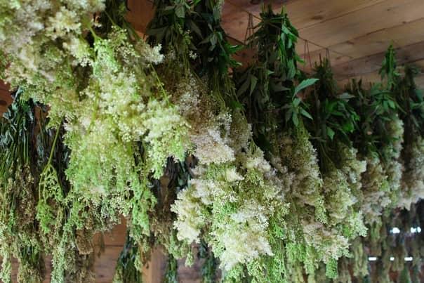 Plante de cretusca la uscat cum se usuca cretusca